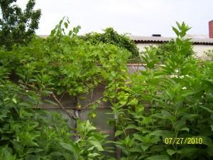 Weinstock im Garten trägt wie 2010 auch heuer(2012) wieder reichlich Blüten und Früchte sind wieder zu erwarten