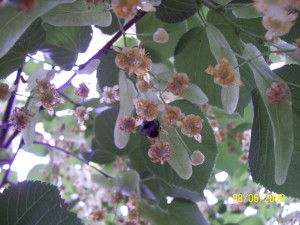 auch Hummel fliegen auf Lindenblüten